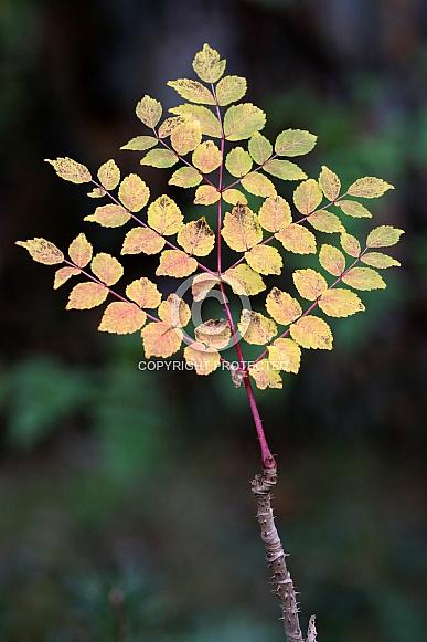 Japanese angelica tree (Aralia elata)
