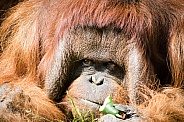 Orang-utan face close-up