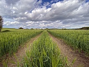 Agricultural land with a crop of barley