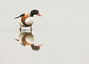 Female Shelduck with Reflection