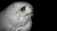 Snowy Owl Black Background Close Up