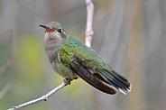 Hummingbird - Broad-billed