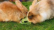 Pet Rabbits Feeding