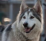 Northern Inuit Hybrid