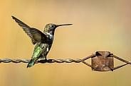 Hummingbird:  Ready to Fly