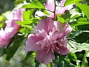 Rose of Sharon II