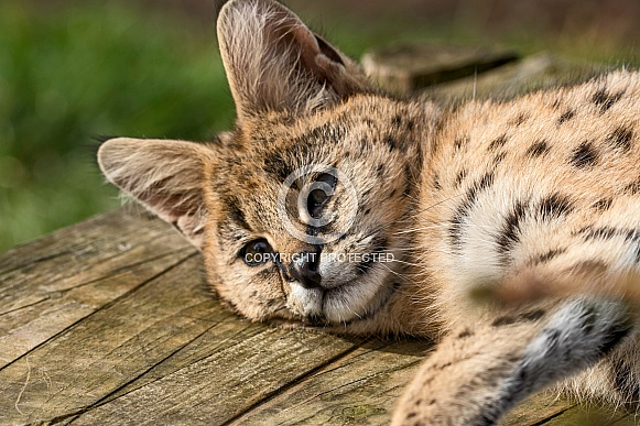 Young Serval Lying Down On Side