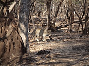 Asiatic Lions - Gir National Park India