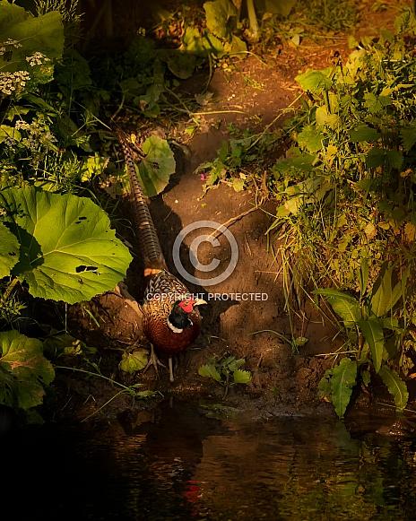 Cock Pheasant on Stream Bank