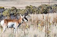 Wild Antelope, Pronghorn