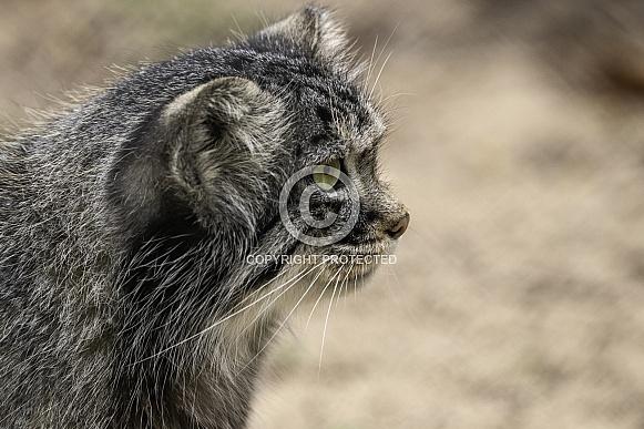 Manul/Pallas Cat Side Profile Close Up