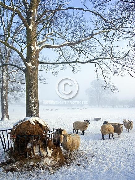 Feeding sheep in Winter Weather