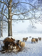 Feeding sheep in Winter Weather