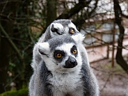 Ring-Tailed Lemurs, mother and baby