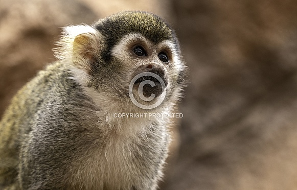 Squirrel Monkey Close Up Looking Upwards