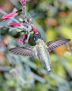 Costa's Hummingbird in Flight (Male)