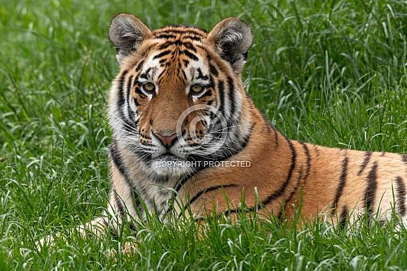 Amur Tiger Cub Lying Down In The Grass