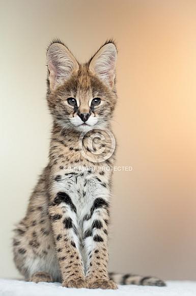 Serval Cub