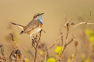 The Bluethroat bird.