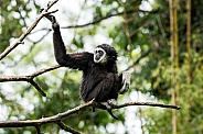 Lar Gibbon Sitting In A Tree