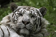 White Tiger Looking Up From Lying Down