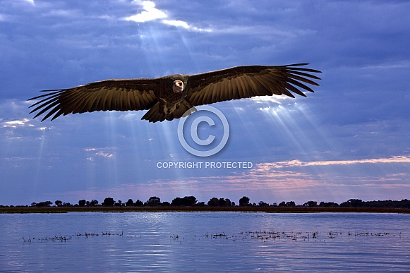 African Lappetfaced Vulture