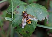 Hoverfly mimic