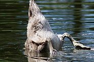 Mute Swan Cygnet - Bottoms Up