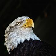 Bald Eagle - Portrait