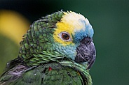 Blue Fronted Amazon Parrot