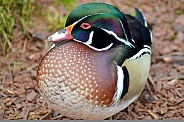 Wood Duck