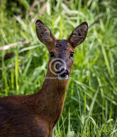 Roe Deer profile