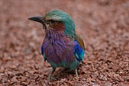 Lilac Breasted Roller Close Up Facing Sideways