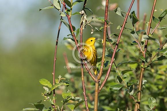 Male Yellow Warbler in Breeding Plumage