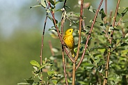 Male Yellow Warbler in Breeding Plumage