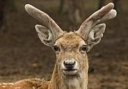Persian Fallow Deer (Dama dama mesopotamica)