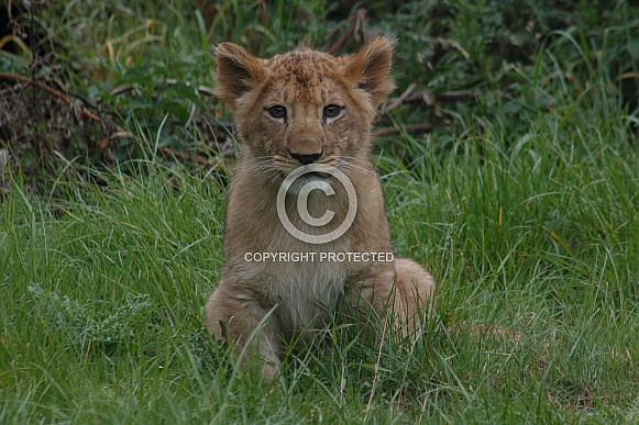 Lion Cub Sitting Up Looking Forwards