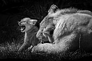 African lion cub playing with big brother