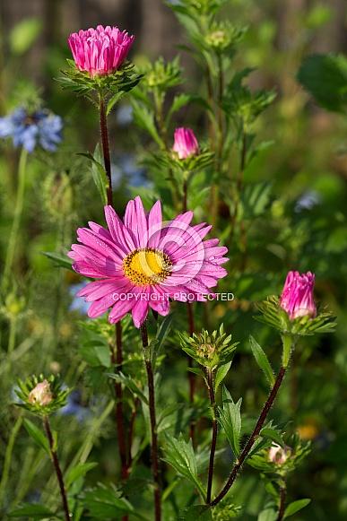 Aster daisy.