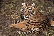 Sumatran Tiger Cub