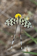 Spoon winged Lacewing