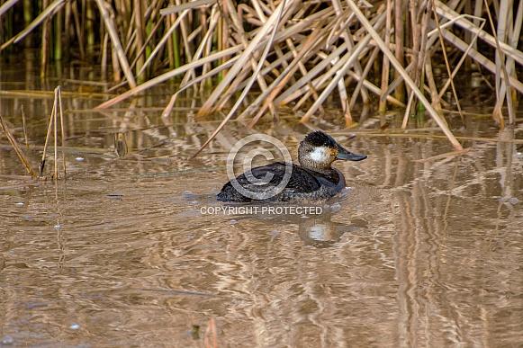 Duck - Ruddy Duck