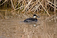 Duck - Ruddy Duck