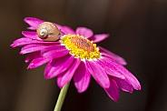 Snail on federation daisy.