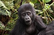 Baby Mountain Gorilla (wild)