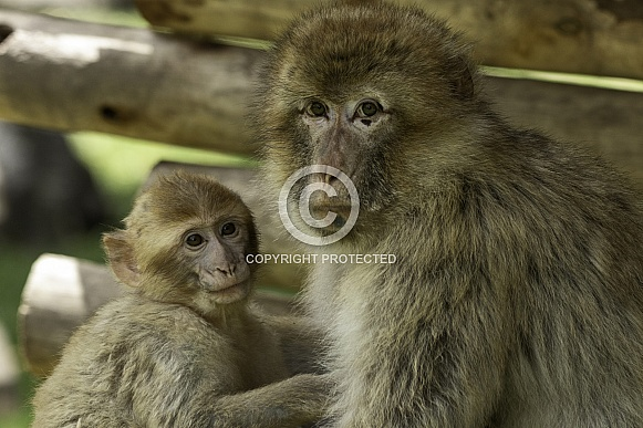 Barbary Macaque Mother and Baby