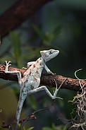 conehead lizard