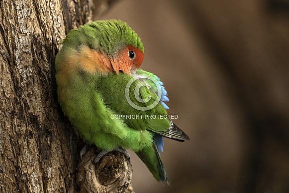 Love Bird Perched On Tree Asleep