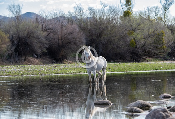 Salt River wild horse stallion standing in the river