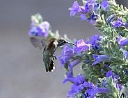 Anna's hummingbird by flowers